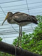 Juvenile Milky Stork