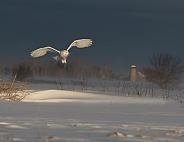 Female Snowy Owl in the Glowing Light