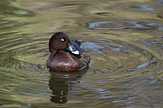Hardhead duck, male (wild)