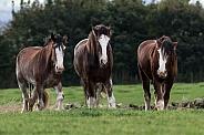 Shire Horses