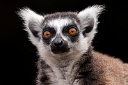 Ring Tailed Lemur Face Shot Close Up Black Background