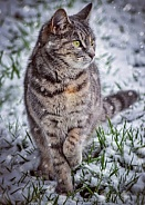 Tabby in the Snow