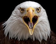 Bald Eagle Close Up Beak Open