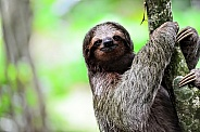 3 Toed Sloth, close up, holding onto tree