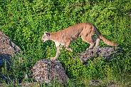 Mountain Lion on the Rocks