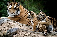 Amur tiger with cubs
