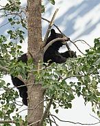 Juvenile Black Bear Playing
