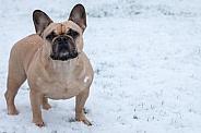 Fawn French Bulldog Full Body Standing