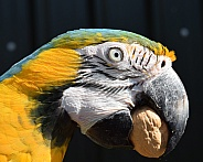 blue and gold macaw with walnut