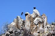 Chacma Baboons - Tyfelfontain - Namibia