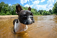 French bulldog in the river