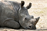 Young White Rhino Lying Down Resting