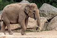 Asian Elephant full body