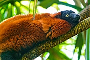 Male Ruffed Lemur