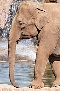 Asian Elephant With Waterfall Behind