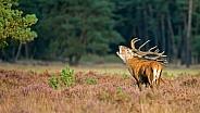 Red Deer during mating season