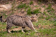 walking wildcat