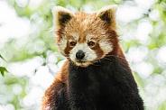 Red Panda Sitting Upright
