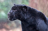 Young blackJaguar