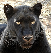 Male Black Leopard
