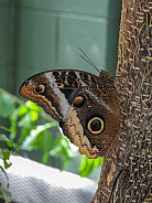 Common Morpho Butterfly