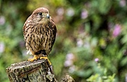 European Kestrel Full Body On Tree Stump