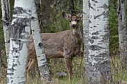 Mule Deer in the wilderness of BC Canada
