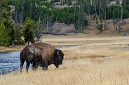 Bison on the Nez Perce Creek