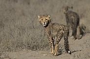 Cheetah cub looking back