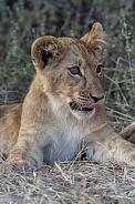 Lion cub - Botswana - Africa