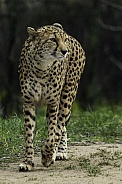Cheetah Walking, full body