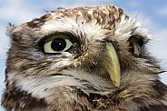 Little Owl Headshot