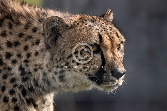 Cheetah Stalking Side Profile