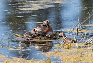 Horned Grebe Nest with Chicks in Alaska