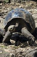 Giant Tortoise - Galapagos Islands