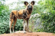 African Wild Dog Full Body Standing Upright
