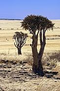 Quiver Trees - Namib Desert in Namibia