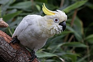 Female Sulfur Crested Cockatoo