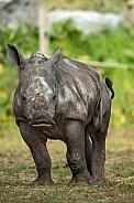 Portrait Shot of Baby White Rhino