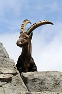 Male Alpine Ibex