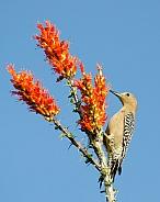 Gila Woodpecker feeding from Ocotillo Flowers