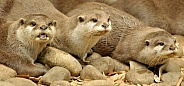 Asian short clawed otters