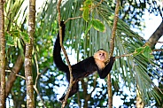 Capuchin Monkey Hanging Out