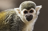 Squirrel Monkey Close Up Face Shot