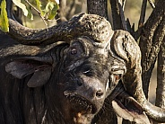 Cape Buffalo scratching