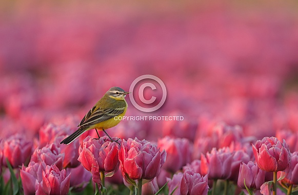 Yellow Wagtail on tulips