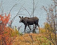 Moose Calf wading in Pond