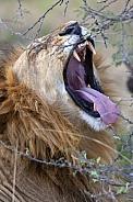 Lion (Panthera leo) - Botswana