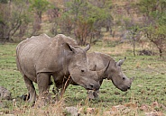 White Rhino with calf (wild)
