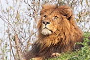 Male African Lion Lying Looking Upwards